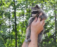 Holding Baby Raccoon Royalty Free Stock Photos