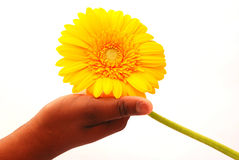 Holding a Big Yellow Gerbera Royalty Free Stock Images