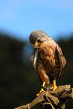 Holding a bird. Holding a kestrel with falconer's glove Royalty Free Stock Photo