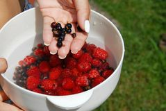 Holding black currants in the hand. Woman hand holding white bowl with raspberries and black currants Royalty Free Stock Image