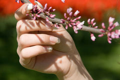 Holding Blooming Branch. Pink blossoming branch being held by female hand. Fingernails are manicured.  Background is a red and green blur Royalty Free Stock Image