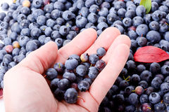 Holding blueberries Stock Image