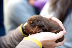 Holding brown puppy dog Stock Photography