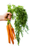Holding a bunch of carrots Royalty Free Stock Photos