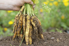 Holding bunch of yellow carrots. Royalty Free Stock Image