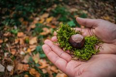 Holding Chestnut on the moss royalty free stock images