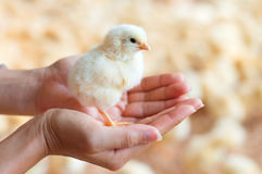 Holding a chick in hand Stock Photo