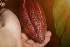 Holding cocoa pod Stock Photo