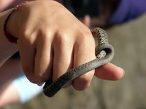 Holding a cold friend. Small grass snake being held by a girl in air