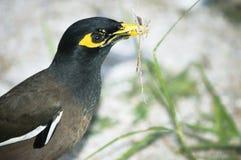Holding comune di Myna in sue erbe del becco per il nido Fotografia Stock