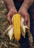 Holding corn maize ear. Hands showing beautiful corn maize ear Royalty Free Stock Photos