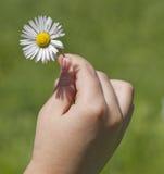Holding a daisy Stock Photography