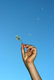 Holding dandelion Stock Photo