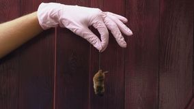 Holding a dead mouse. A hand in a latex glove holds a dead mouse for its tail. Red wooden background stock video