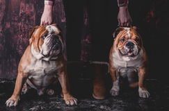 Holding English bulldogs Royalty Free Stock Images