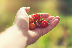 Holding fresh picked tomatoes outside in the sunlight Royalty Free Stock Image