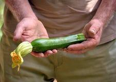 Holding a fresh zucchini Stock Image