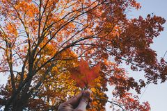 A golden leaf in hand with a beautiful Autumn tree in the background stock photos