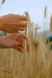 Holding a golden wheat Royalty Free Stock Photo
