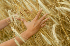 Holding a golden wheat Royalty Free Stock Images