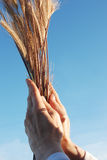 Holding a golden wheat Stock Photo