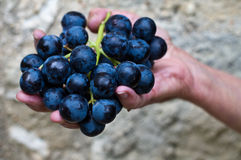 Holding grapes from harvest Royalty Free Stock Photography
