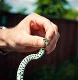 Holding a Grass Snake Stock Image