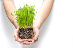 Holding grass sprouts Royalty Free Stock Photo