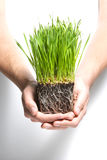 Holding grass sprouts stock images