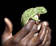 Holding a green Chameleon Royalty Free Stock Images