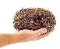 Holding hedgehog Stock Photo