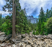 Holding on, holding firm. This tree in Yosemite National Park holds strong, straight, and true to the rocky hillside Royalty Free Stock Photography