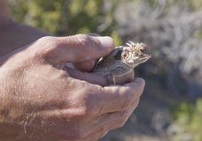 Holding a Horny Toad Stock Image