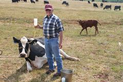 Holding the IV 2. Large animal vet facing the camera while holding the IV above a sick cow in a field Stock Images