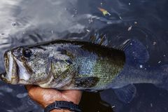 Holding a largemouth bass after catching it. Florida royalty free stock image