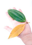 Holding leaf isolated Royalty Free Stock Photo