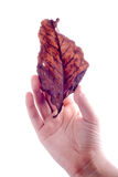 Holding leaf isolated Royalty Free Stock Images