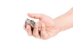 Holding a little turtle. Male hand holding a little turtle isolated on white background Royalty Free Stock Images
