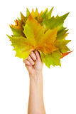 Holding many maple leaves Stock Photography