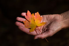 Holding a maple leaf Stock Image