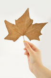 Holding a maple leaf Stock Photography