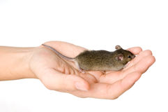 Holding Mice Stock Image