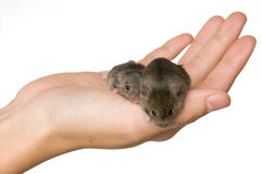 Holding Mice Stock Photography