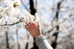 Holding onto cherry blossoms royalty free stock photography