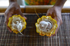 Holding the open Cacao Pod Stock Images