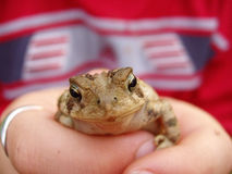 Holding out Toad. Young child holding toad in hands royalty free stock image