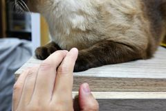 Holding the paw of cat. In house Stock Photos