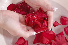 Holding petals. A woman holding rose petals in her hand Royalty Free Stock Photography