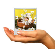 Holding a Photograph of a Child in Daisy Pot Royalty Free Stock Image