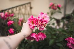 Holding a pink rose in a garden stock image